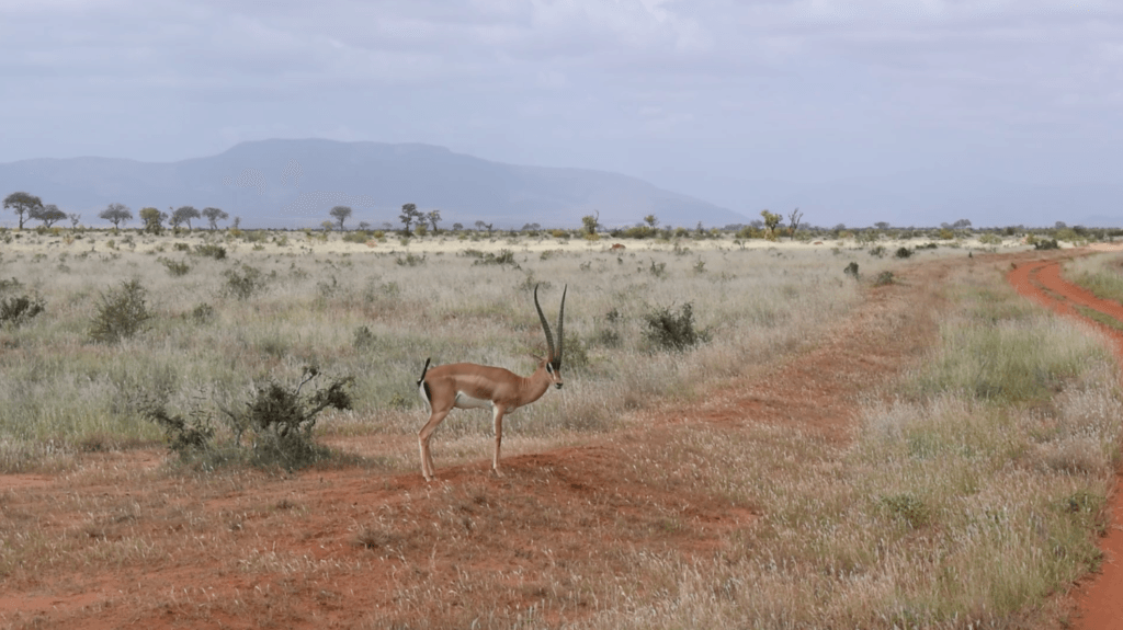Antelope chilling on the side of the road