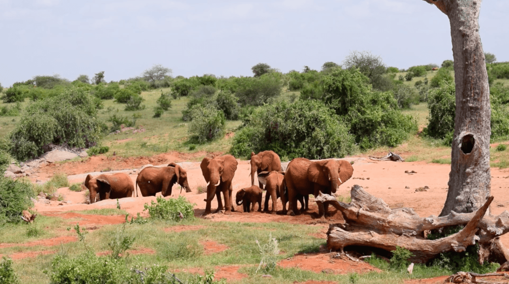 A group of elephants look for water