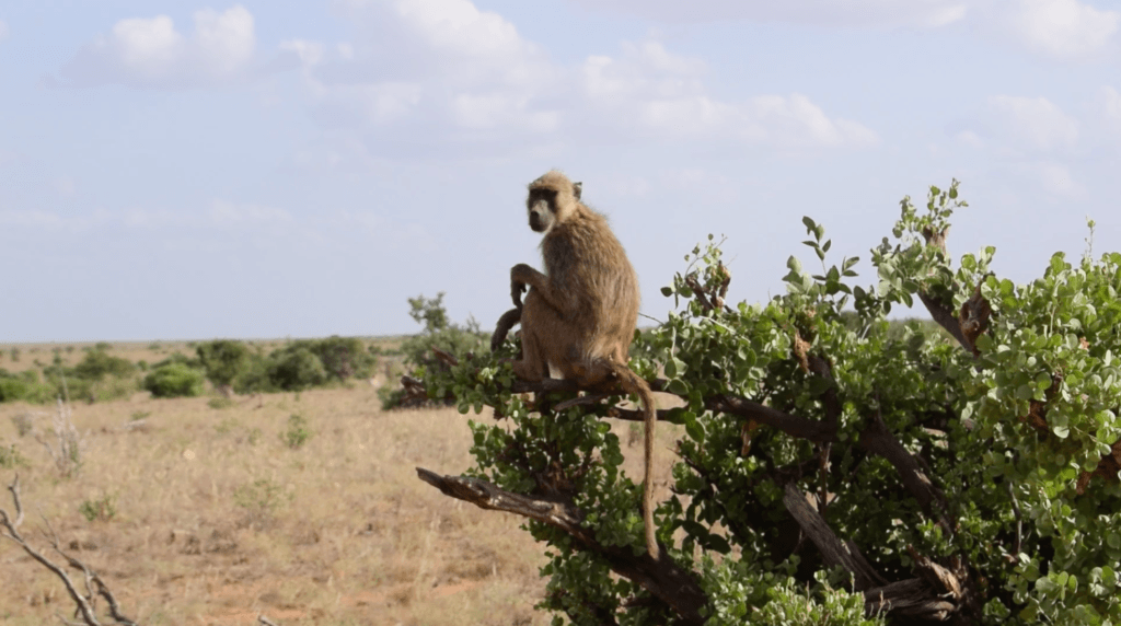 A baboon seems surprised to see us