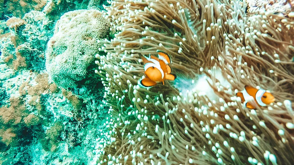We found Nemo in the Phi Phi Islands in Thailand!