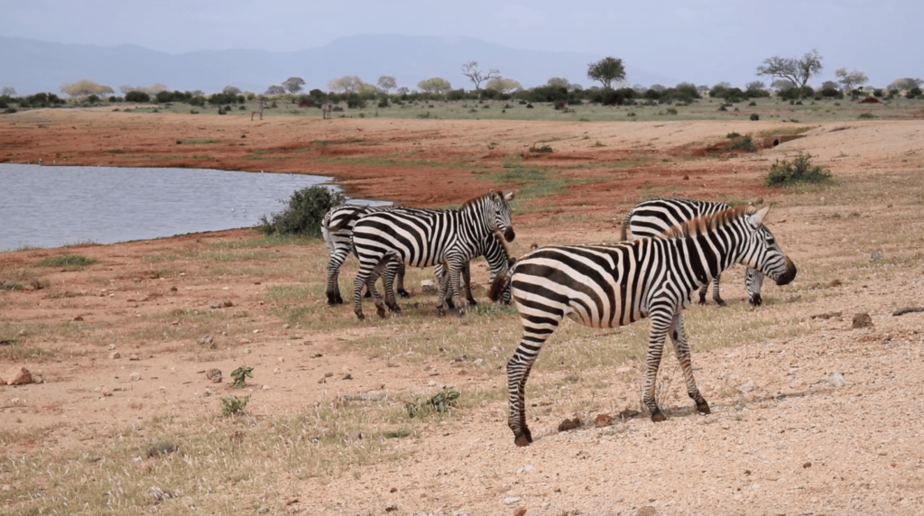 A group of zebras grazing by the water