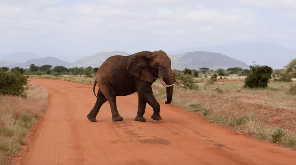 Elephant crossing the road during our safari in the Tsavo East National Park.