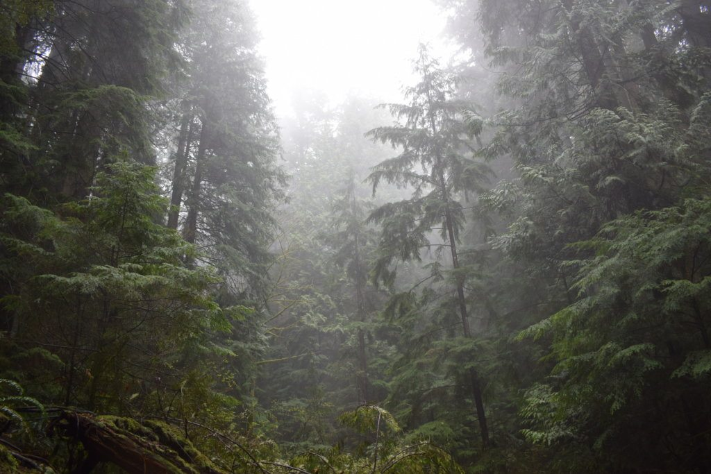 Foggy and mysterious trees in Deep Cove