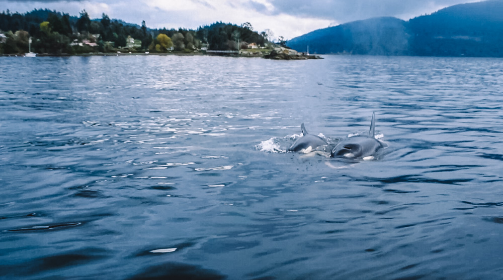 Killer whales that we saw hunting during our Vancouver whale watching tour