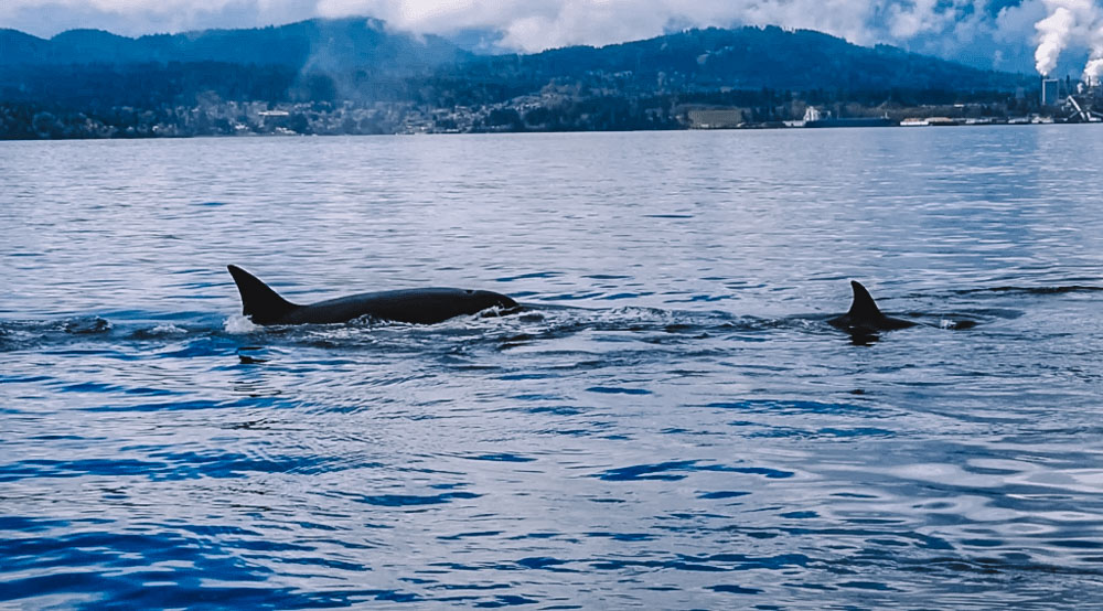 Killer whales we saw hunting close to our boat