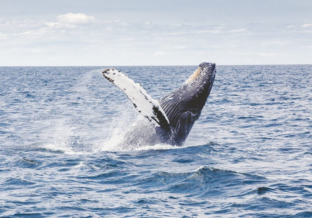 Humpback whale jumping out of the water - photo by Dassel, Pixabay