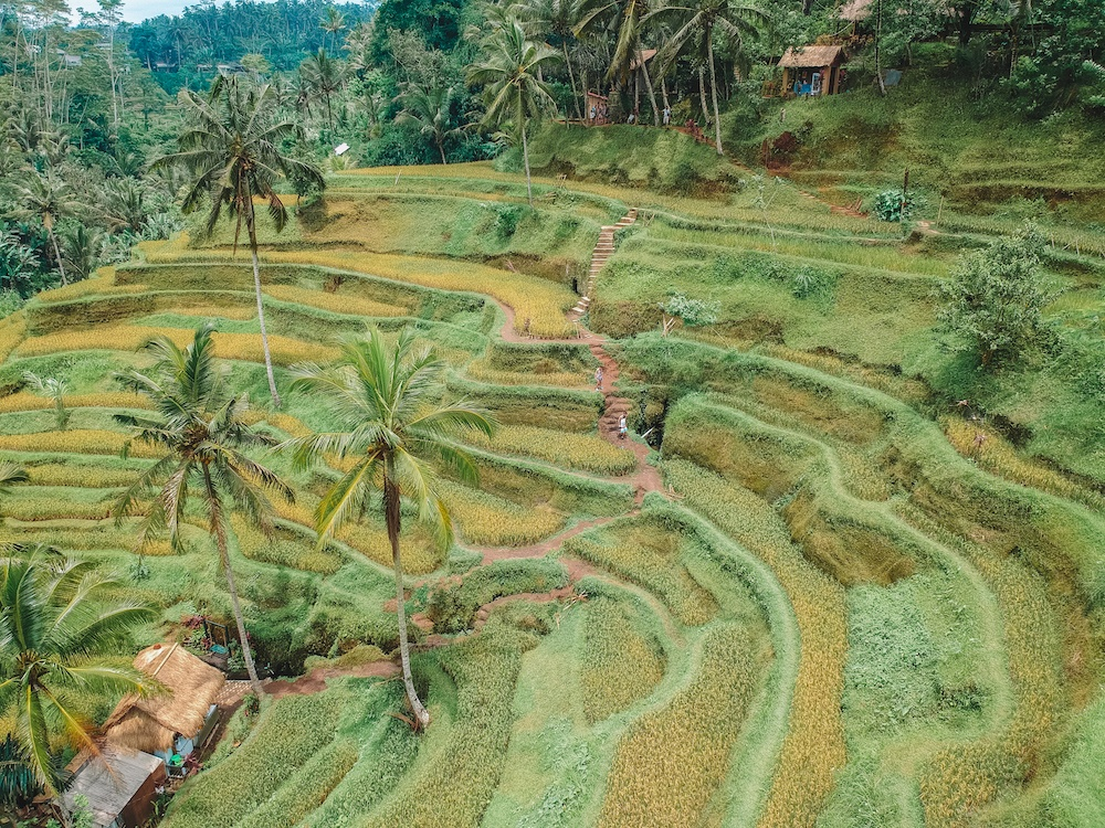 Drone shot of Tegalalang rice terrace in Ubud, Bali