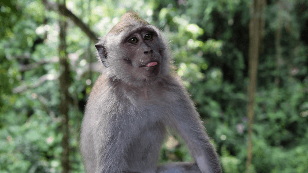 One of the cheeky monkeys in the Monkey Forest of Ubud