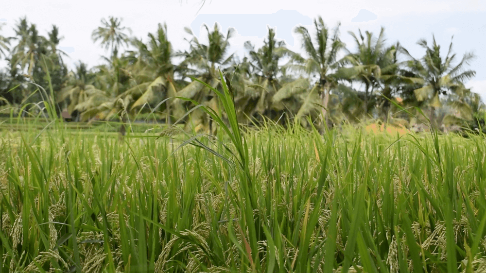 The rice fields of Ubud