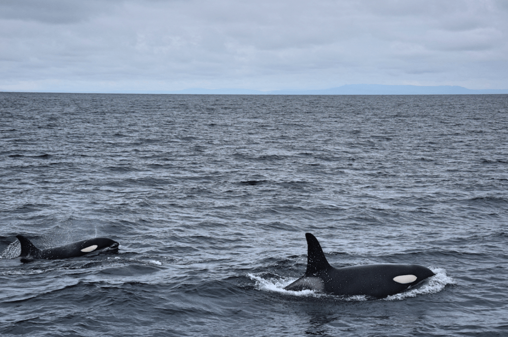 Killer whales in Iceland, shot by Boarding Call