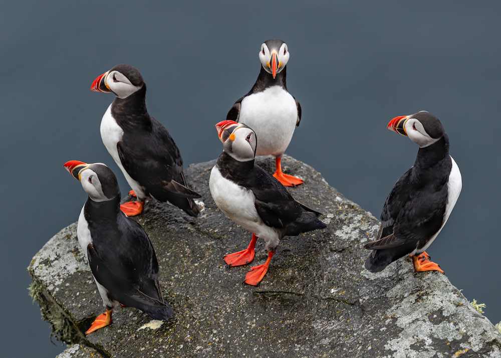A flock of puffins like the ones you can see in Iceland - Photo by Gunnar Haug on Scopio