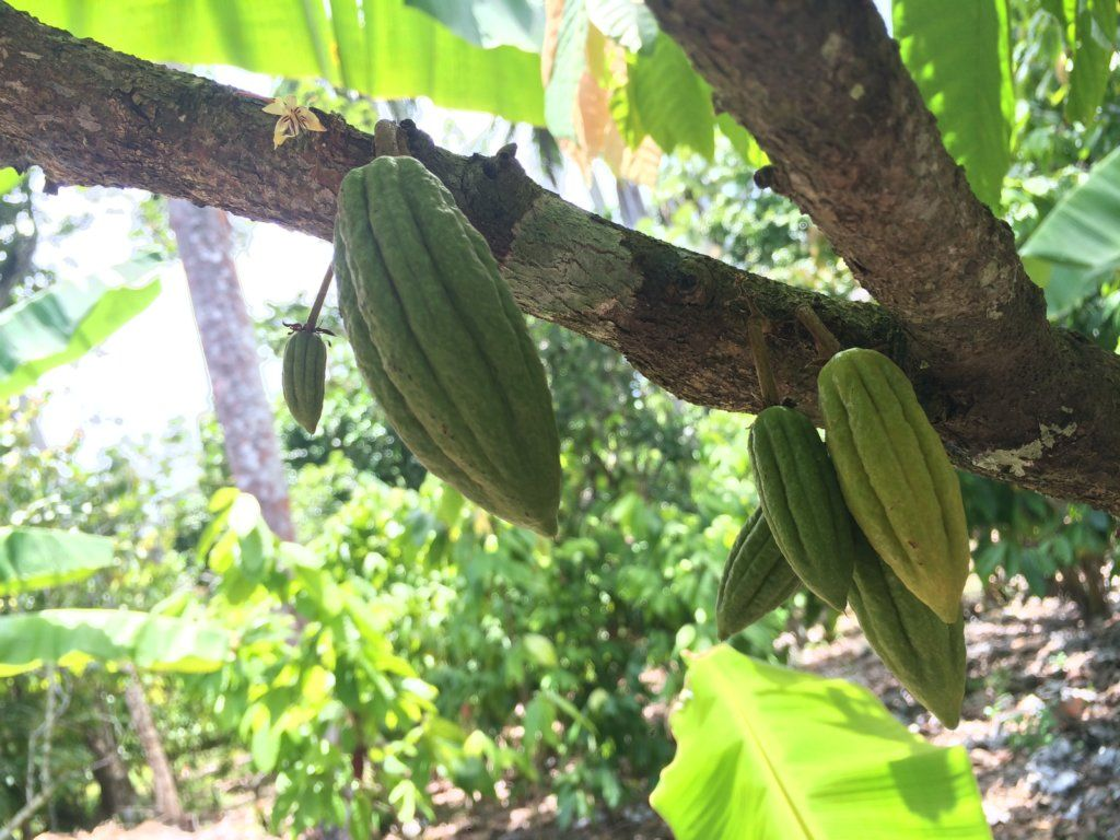 Cuban cacao in Baracoa, photo by Dame Cacao