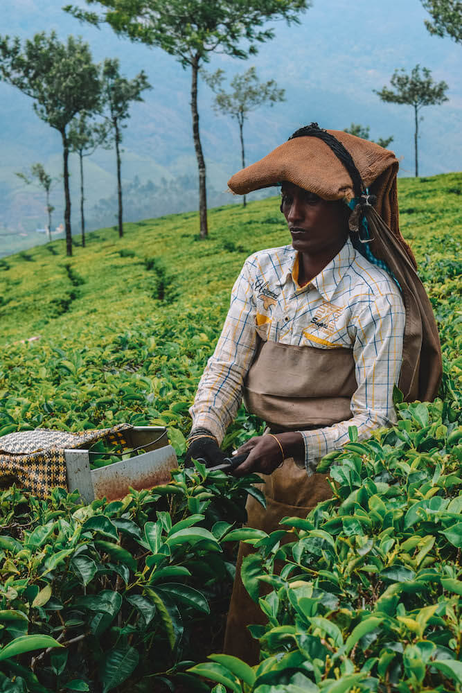 One of the local women that work as tea pickers in the tea plantations of Munnar, India