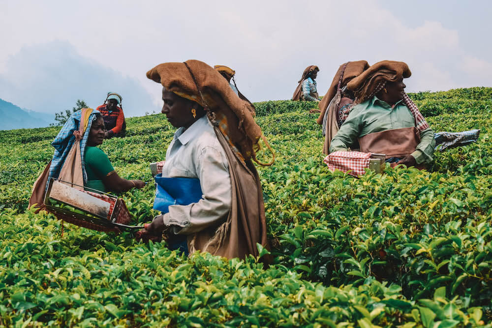 A group of tea pickers in Munnar, India