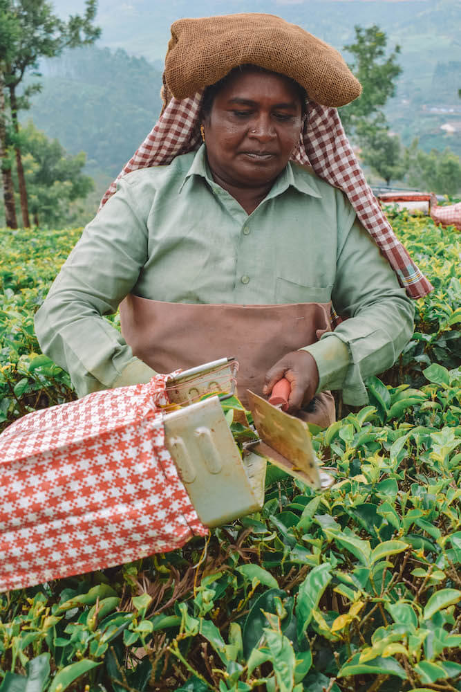 One of the tea pickers in the plantations of Munnar, India