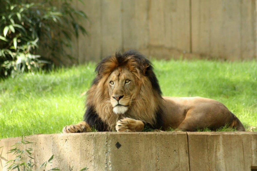 A lion at the National Zoo in Washington DC, photo by Travel As Much