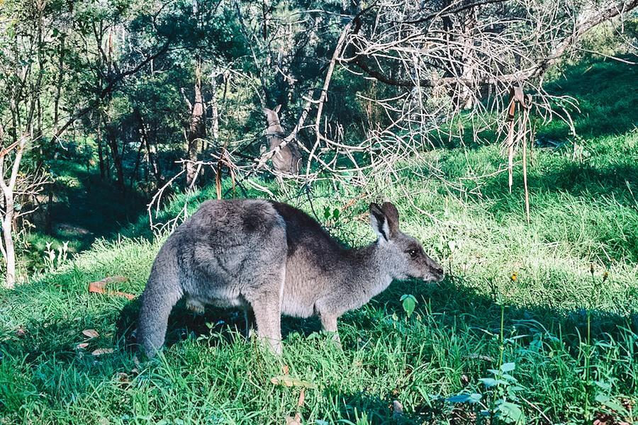Wild kangaroos in Blue Mountains, Australia