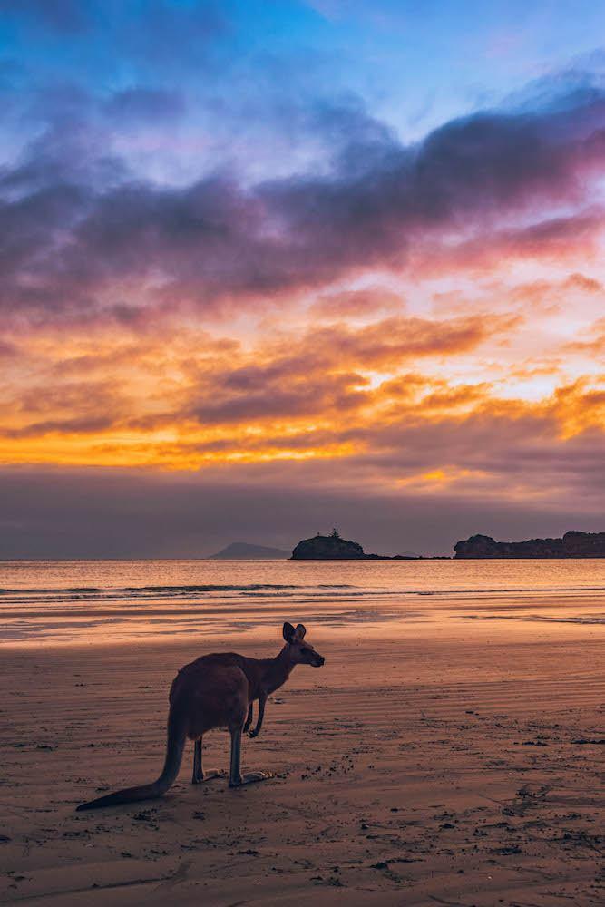 Kangaroos on the beach at sunrise at Cape Hillsborough, Australia