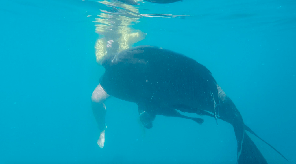 Snorkelling in the Whitsunday Islands with a Maori Wrasse