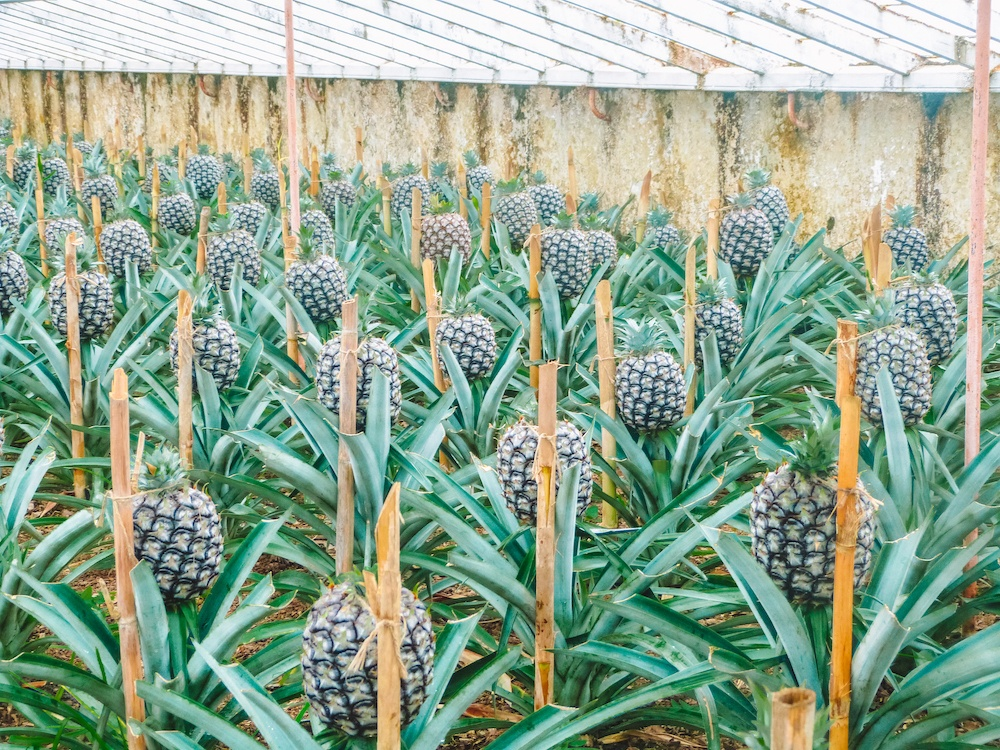 A pineapple plantation in Sao Miguel, photo by Wandering with a Dromomaniac