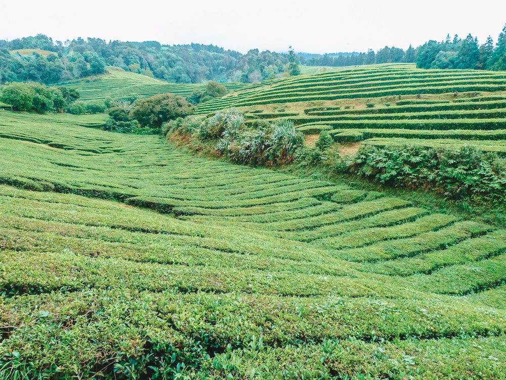 A tea plantation in Sao Miguel, photo by Wandering with a Dromomaniac