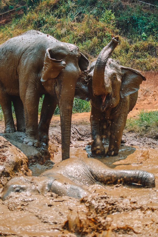 Happy elephants bathing at Elephant Green Hill in Chiang Mai, Thailand