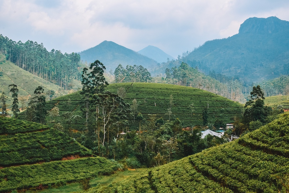 Rolling green tea fields that you can see during the Kandy - Ella train journey
