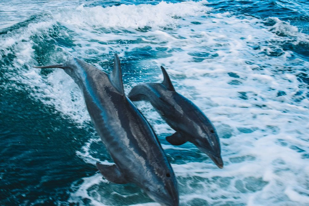 Some of the dolphins jumping behind our boat during our dolphin spotting cruise in Clearwater