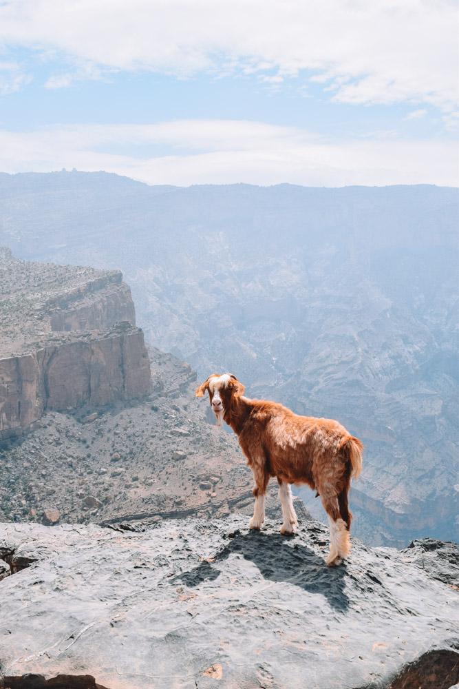 Orange goat standing along the Jebel Shams Balcony Walk, on the rim of Wadi Ghul