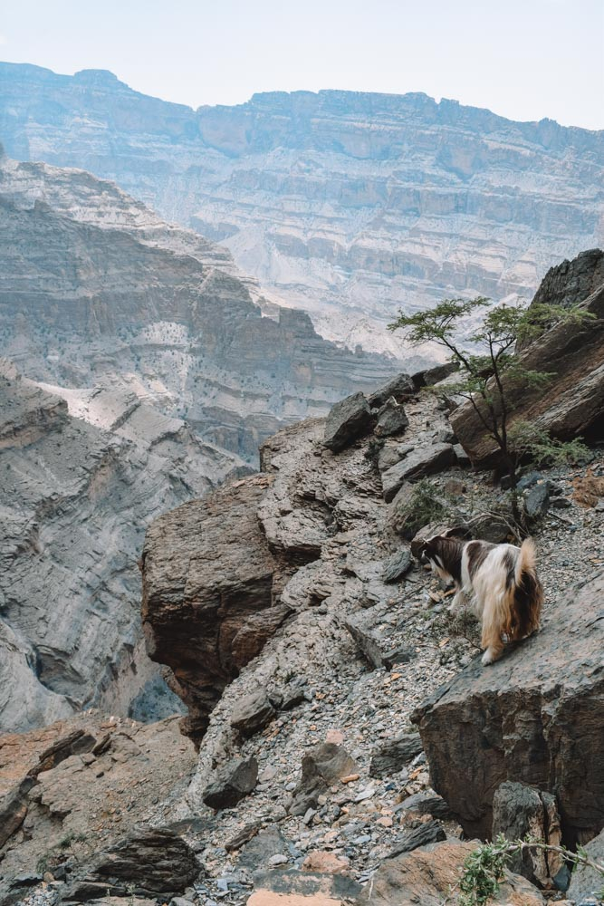 Goats standing along the rim of the Wadi Ghul