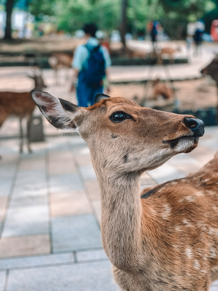 One of the many wild deers in Nara Park, Japan