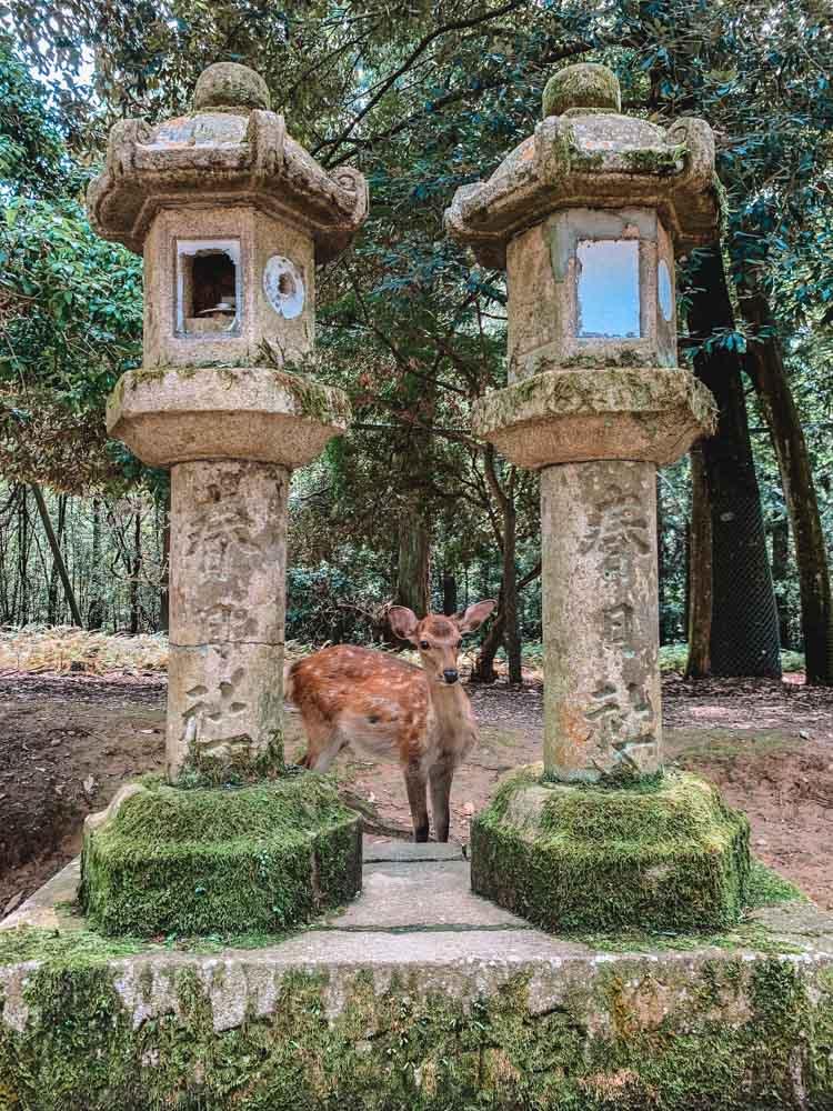 One of the deer wandering free around Nara Park, Japan
