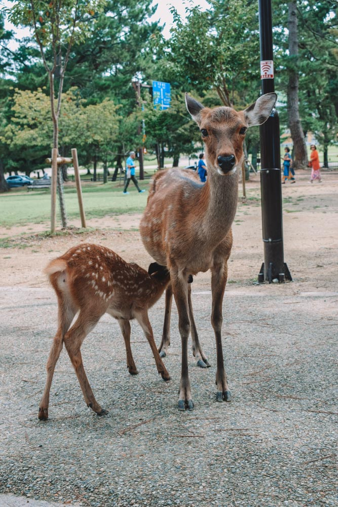 A female deer and her fawn in Nara Park