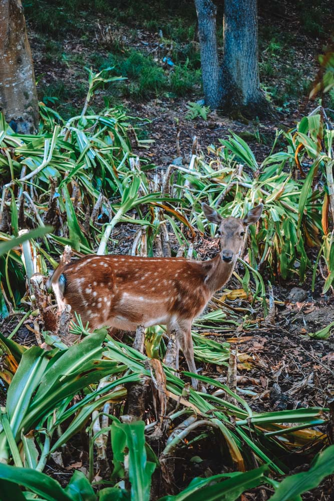One of the wild deers you can see in Monte Brazil park on Terceira Island