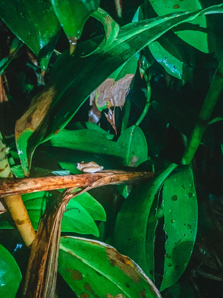 A frog we saw during a night walking tour in Tortuguero National Park