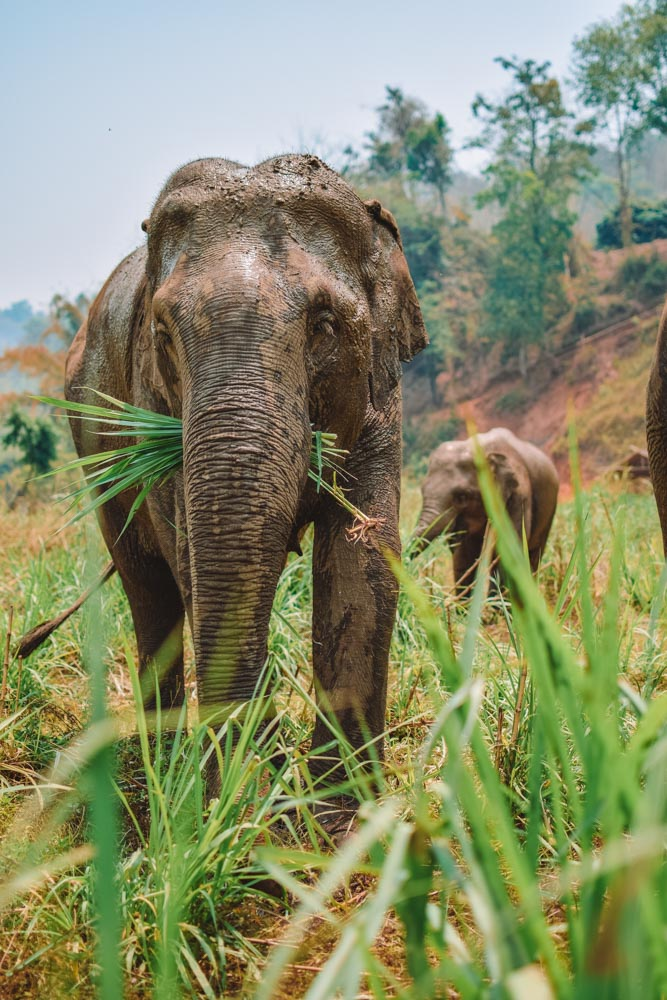 Two of the elephants at Elephant Green Hill in Chiang Mai, Thailand