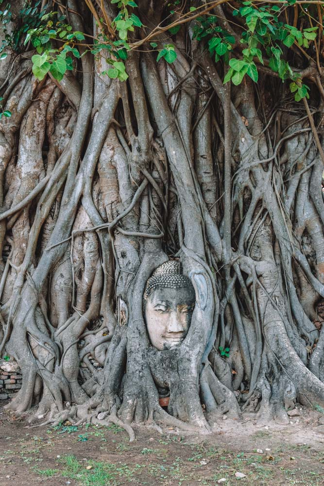 The famous Buddha in the banyan tree roots of Wat Mahathat