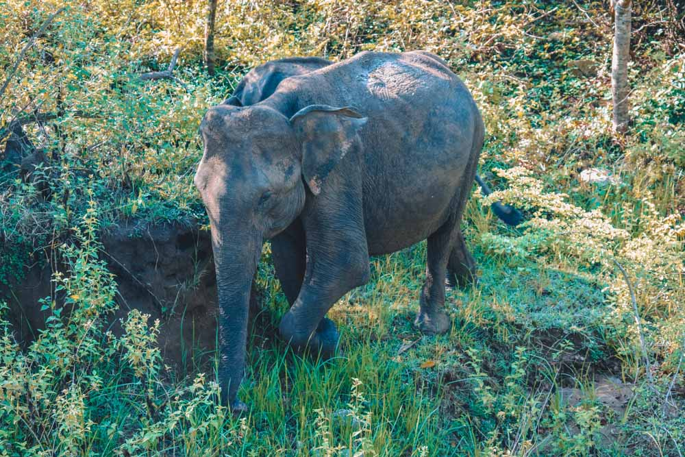 An adorable young elephant we saw in Sri Lanka