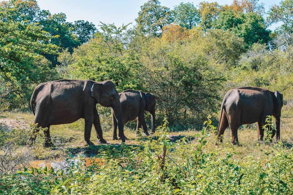 Elephants that we spotted during our Udawalawe safari