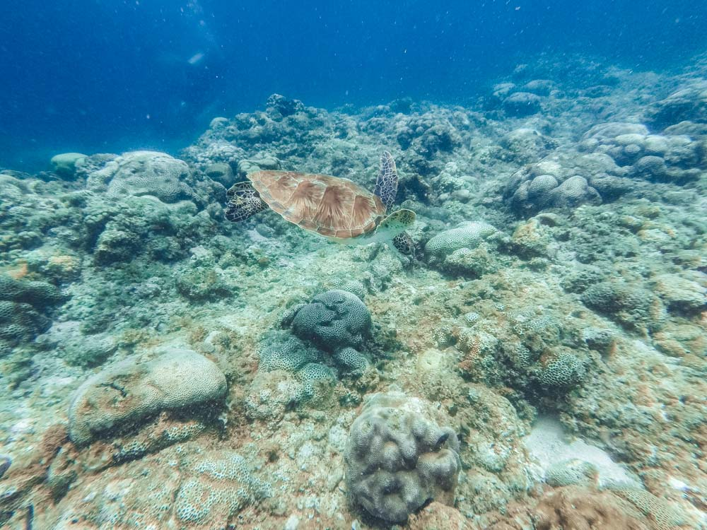 A turtle that we spotted while snorkelling in Moalboal