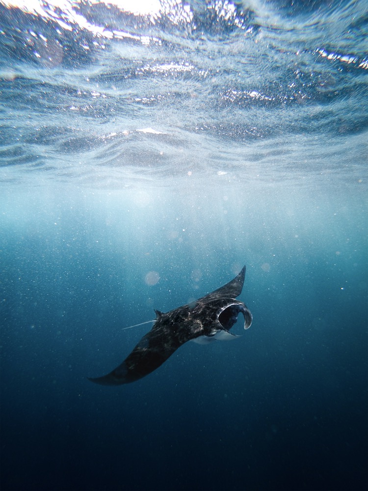 Snorkelling with manta rays - Photo by Brad Flowerdew on Scopio