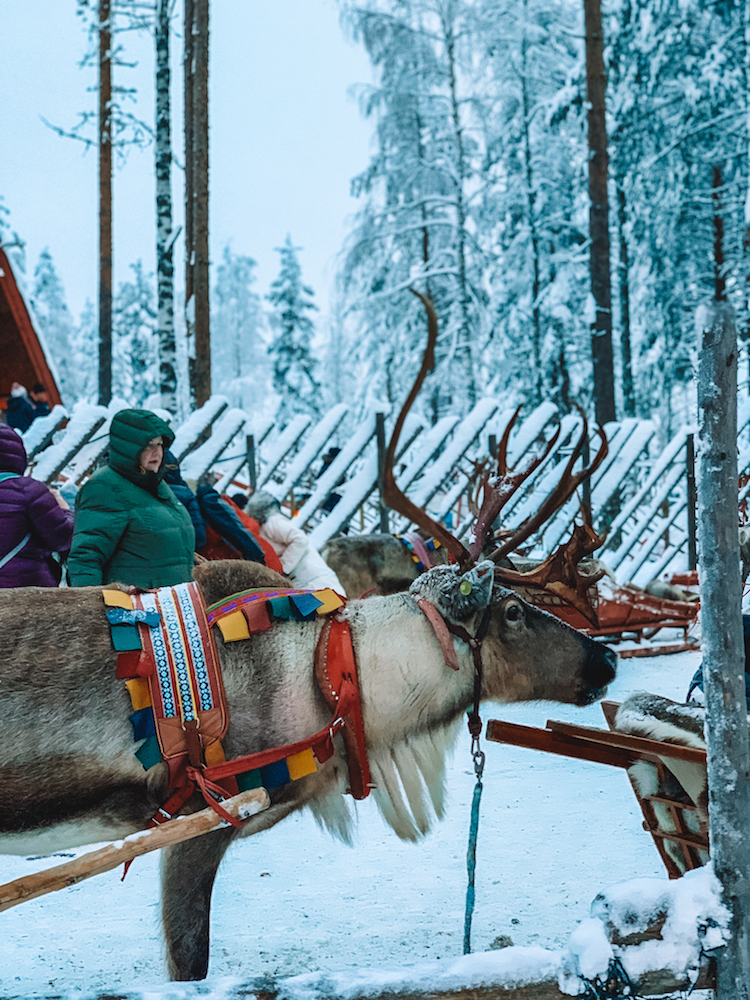 Going for a reindeer sleigh ride in Rovaniemi, Lapland