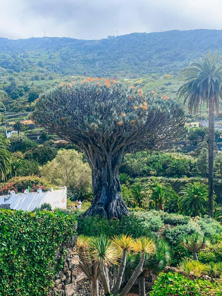The famous Drago Milenario de Icod de los Vinos in Tenerife