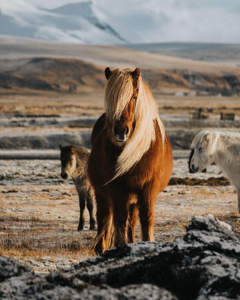 Icelandic horses - photo by Lloyd Evans on Scopio